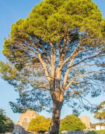 lone pine 4