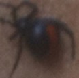 redback small