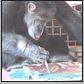 oz council chimp