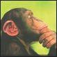 chimp reflective