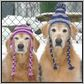 dogs in hats