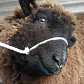 gagged sheep II